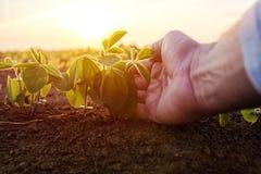 Agronom som kontrollerar små sojabönaväxter i kultiverad agricultu Arkivfoton