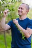 Agronom sprawdza czereśniowego drzewa kwiaty Zdjęcie Royalty Free