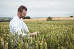 Agronom sprawdza uprawy w polu Zdjęcia Stock