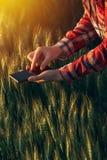 Agronom używa mądrze telefon app analizować uprawa rozwój zdjęcie stock