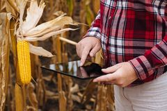 Agronom używa pastylka komputer w kukurydzanym polu podczas żniwa Obraz Stock