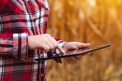 Agronom używa pastylka komputer w kukurydzanym polu podczas żniwa fotografia stock