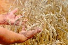 Agronom w pszenicznym polu trzyma dojrzałą pszeniczną chlebową banatkę w jego rękach Pojęcie uprawiać ziemię Obrazy Royalty Free