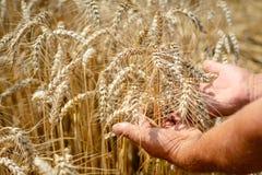 Agronom w pszenicznym polu trzyma dojrzałą pszeniczną chlebową banatkę w jego rękach Pojęcie uprawiać ziemię Obraz Stock