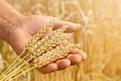 Agronom w pszenicznym polu trzyma dojrzałą pszeniczną chlebową banatkę w jego rękach Pojęcie uprawiać ziemię Fotografia Stock