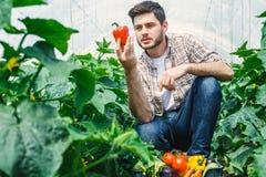 Agronoma mienia warzywa w szklarni Obraz Stock