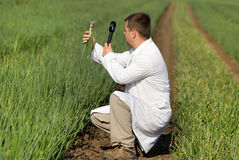 Agronome dans le domaine d'oignon photographie stock libre de droits