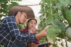 Agronomen undersöker de växande melonplantorna på lantgården, bönderna och forskarna i analysen av växten arkivfoton