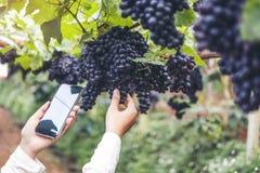 Agronomen-Woman-Winemaker, der Smartphone überprüft Trauben im Weinberg verwendet lizenzfreies stockfoto