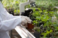 Agronomist держа саженец в цветочном горшке в парнике стоковое изображение
