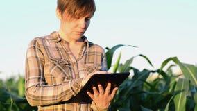 Agronomist женщины используя планшет в аграрном культивируемом кукурузном поле в заходе солнца сток-видео