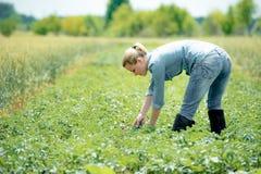 Agronomist женщины работая на поле лета с картошками Стоковая Фотография