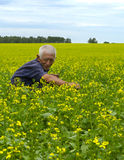 Agronomist. Checks flowering rapeseed field Royalty Free Stock Image