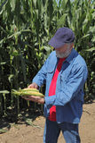 Agronomist examine corn cob Royalty Free Stock Photos