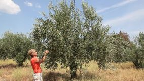 Agronomist examine olive tree stock video