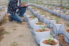 The agronomist examines the growing melon seedlings on the farm,  farmers and researchers in the analysis of the plant.  royalty free stock photography