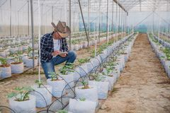 The agronomist examines the growing melon seedlings on the farm,  farmers and researchers in the analysis of the plant stock image