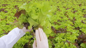 Agronomist examines roots of green salad standing in agro holding. She carefully inspects humidity of root system.