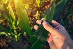 Agronomist examining corn maize crop leaf. In cultivated agricultural field Stock Photography