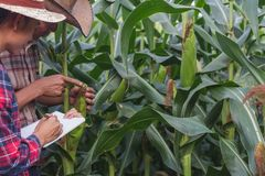 Agronomist examining plant in corn field, Couple farmer and researcher analyzing corn plant stock photography