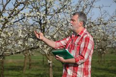 Farmer or agronomist in blossoming plum orchard. Agronomist or farmer examine blooming plum trees in orchard, spring time Stock Images