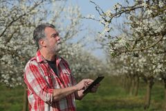 Farmer or agronomist in blossoming plum orchard. Agronomist or farmer examine blooming plum trees in orchard using tablet Royalty Free Stock Image