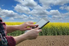 Farmer or agronomist inspecting blossoming rapeseed field. Agronomist or farmer examine blossoming canola field, using tablet Royalty Free Stock Images