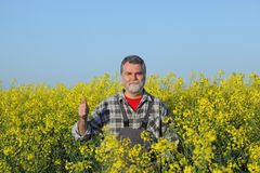 Farmer gesturing in blossoming rapeseed field. Agronomist or farmer examining blooming canola field and gesturing with thumb up, rapeseed plant in early spring Royalty Free Stock Photography