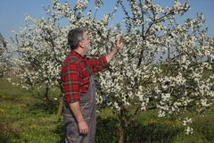 Farmer or agronomist in blossoming plum orchard. Agronomist and farmer examining blossoming cherry trees in orchard, spring time Stock Image