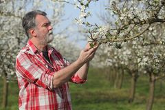 Farmer or agronomist in blooming plum orchard. Agronomist or farmer examining blossoming plum trees in orchard, spring time Stock Photography