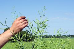Agronomist fingers probes the pods of rape on the branches of the plant against the background of the field and the sky.  Stock Photography