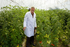 Agronomist in greenhouse Stock Photo