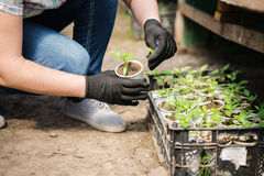 Agronomist grow seedlings in the greenhouse pepper. Agronomist grow seedlings in the greenhouse Stock Images