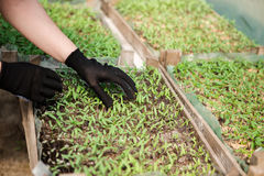 Agronomist grow seedlings in the greenhouse tomatoes. Agronomist grow seedlings in the greenhouse Stock Photos