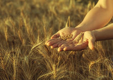 Agronomist stands on a large field at sunset, holding hands to ears of wheat grain. Royalty Free Stock Image