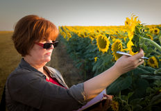 Agronomist in sunflower field Royalty Free Stock Images