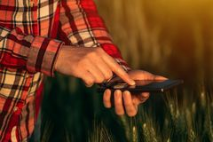 Agronomist using smart phone mobile app to analyze crop development. Female hands with mobile phone in cultivated wheat field royalty free stock photography