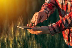 Agronomist using smart phone mobile app to analyze crop development. Female hands with mobile phone in cultivated wheat field royalty free stock images