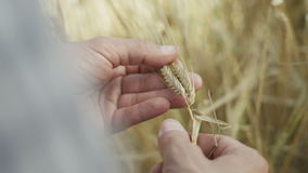 An agronomist in the wheat field stock footage