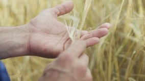 An agronomist in the wheat field stock video footage