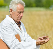 Agronomist in wheat field Royalty Free Stock Images