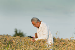 Agronomist in wheat field Stock Images