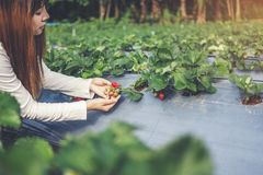 Agronomist Woman using Smartphone checking Strawberry in Organic Strawberry Farm