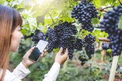 Agronomist Woman winemaker using Smartphone checking grapes in vineyard royalty free stock photography
