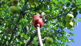 Agronomists tear the pears. stock video