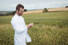 Agronomo che controlla i raccolti nel campo Immagini Stock