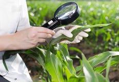 Agronomo con la lente nel campo di grano Immagine Stock Libera da Diritti