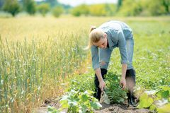 Agronomo della donna che lavora nel campo, patate crescenti di eco dei controlli Fotografie Stock