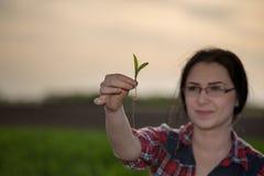 Agronomo della donna che prende cura dei germogli nel campo Fotografia Stock