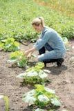 Agronomo della giovane donna che lavora nel campo, pompa crescente di eco dei controlli Immagine Stock